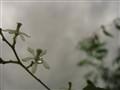 neem flower after rain
