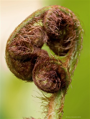 Fern fiddlehead beginning to unfurl