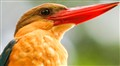 Stork-billed Kingfisher @ Symphony Lake