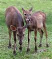 Samba Deer