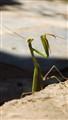 Praying mantis ready to attack! :)