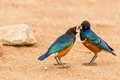 Superb Starling Lunch
