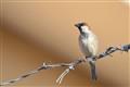 Somali Sparrow
