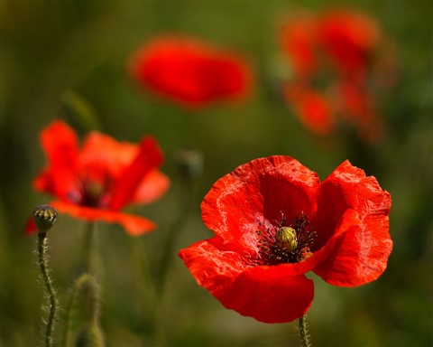 RED POPPIES challenge P1000040