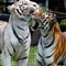 Disagreeable tigers