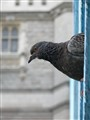 Pigeon on Tower Bridge