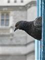 Pigeon on Tower Bridge