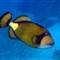 Titan Triggerfish_0002