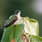 Hummingbird9-13-2012
