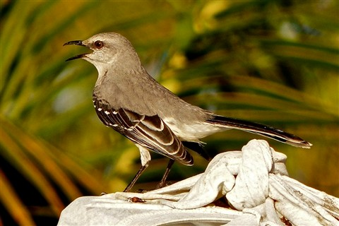 Tropical Mockingbird 758
