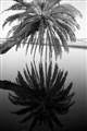 Cobb's Corner Palm