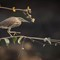 Pond Heron Redo Dark