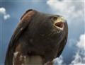 Hawk with Clouds