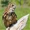 DGB_8028_Eagle Owl