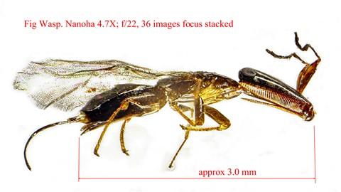 Fig wasp 4_7X Nanoha f22 36-HDR-1-1