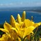 Yellow Lilies with Bay Background