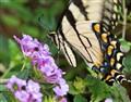 Feeding Butterfly