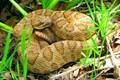 Beautiful Cooper Colored Great Basin Rattlesnake