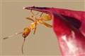 Orange Ant