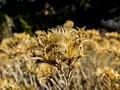 Bush Seed