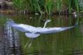 Grey Heron on Rochdale Canal