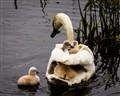 Swan Boat, Wayland, MA