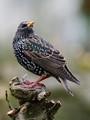 Stunning Starling
