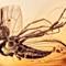 2017 Amber 029 March Diptera Brachycera Orthorrhapha Rhagionoidea Bolbomyiidae Male II