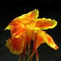 Canna Lily, Thailand