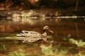Panning Duck