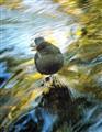 Autumn Water Ouzel