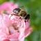 Honeybee_extracting_nectar-2