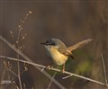 Ashy Prinia , early one foggy morning.