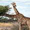 Giraffes Out for Afternoon Brunch DEMBER 2016 ETOSHA NATIONAL PARK NAMIBIA (1 of 1)
