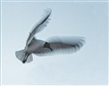 Ghost Gull