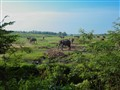 Field of elephants