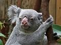 Koala in Duisburg Zoo