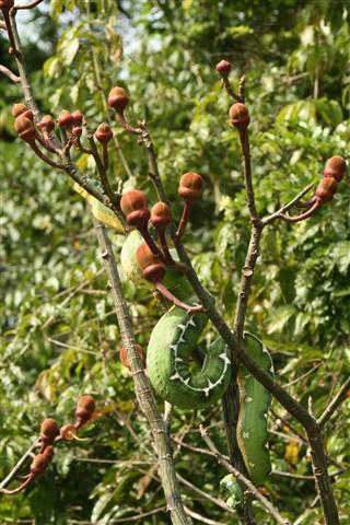 Tree Boa