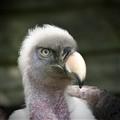 Rüppells Griffon Vulture
