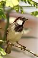 Sparrow..
