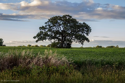 Farm field with a large bur oak tree (Quercus macrocarpa - Fagaceae)