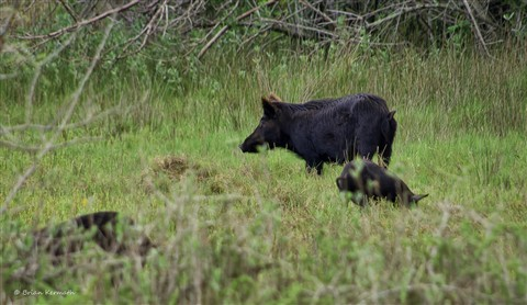Family of wild pigs
