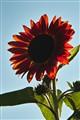 Red, sun, flower