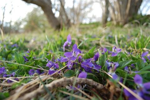 Yorkshire Violets