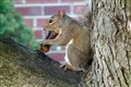 Squirrel Eating a Sausage