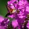 Hummingbird Moth 1: OLYMPUS DIGITAL CAMERA