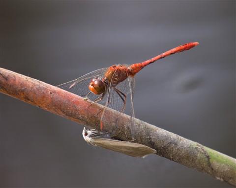 reddragonfly