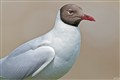 Black Headed Gull_MG_5569
