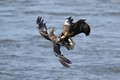 One frame from an entire sequence of a fight for a fish between a juvenile and adult bald eagle at Conowingo Dam.  The juvenile had it and ended up keeping it.