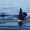 Orcas from Rainbow _8115787 Kachemak Bay 2016-08-19